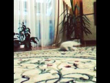 white kitten Nicas